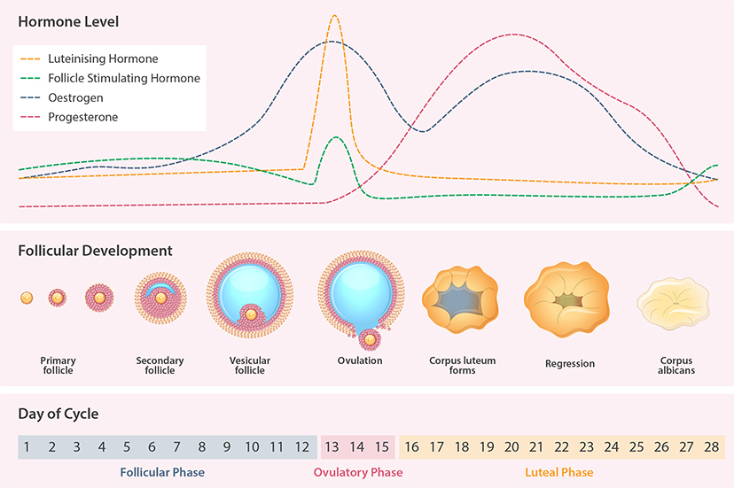 Figure 1: The Hormones of the Female Reproductive Cycle Rise and Fall Throughout the Month.